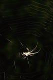 Spinne (Argiope bruennichi) Stockbild