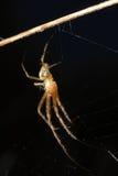 Spinne (Argiope bruennichi) Stockfoto