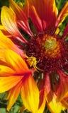 Spinne auf Blume Stockfotografie