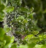 Spinne auf Buxus stockbild