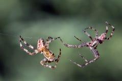 Spinne auf dem Angriff stockfoto
