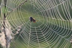 Spinne auf dem Netz Lizenzfreie Stockbilder