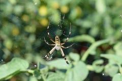 Spinne auf dem Netz Stockfotos