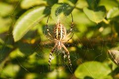 Spinne auf dem Web Lizenzfreie Stockbilder