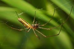 Spinne auf dem Web das Opfer essend Stockbilder