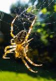 Spinne auf der Jagd Stockbild