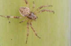 Spinne auf einem Blatt lizenzfreies stockfoto