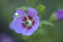 Spinne auf einem Blumenmakroschuß Stockfotos