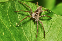 Spinne auf einem grünen Blatt Lizenzfreies Stockfoto
