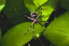 Spinne auf einem Spinnennetz lizenzfreie stockfotografie