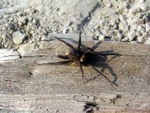 Spinne auf einem Splitter Stockbild