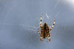 Spinne auf einem Web Stockbild