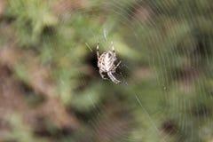 Spinne auf einem Web Lizenzfreies Stockbild