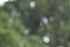 Spinne auf einem Web Stockbilder