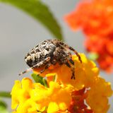 Spinne auf einer Blume Stockfoto