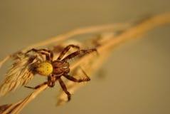 Spinne auf einer Strohnahaufnahme Lizenzfreies Stockbild