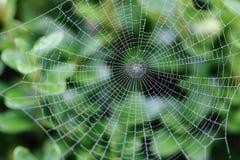 Spinne auf nassem Web Stockfotografie