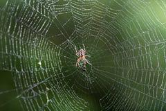 Spinne auf Netz Lizenzfreie Stockbilder