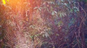 Spinne auf Netz, natürliche Falle im Wald Stockbild