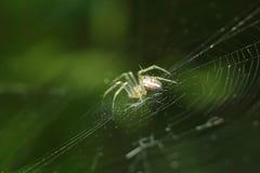 Spinne auf seinem Web Stockfoto