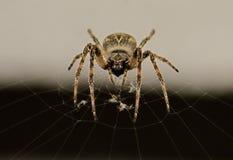 Spinne auf seinem Web Stockbilder