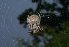 Spinne auf Spinneweb 10 Stockbild