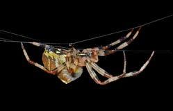 Spinne auf Spinneweb 32 Lizenzfreie Stockbilder