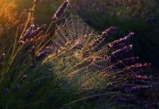 Spinne auf Tau getränktem Netz im Lavendel Stockfotografie