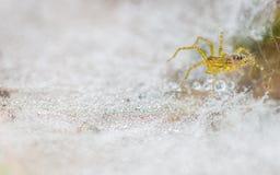 Spinne auf Tau-Tropfen Stockfotos