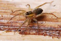 Spinne auf Wasser Lizenzfreies Stockfoto