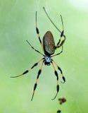Spinne auf Web Stockfotografie