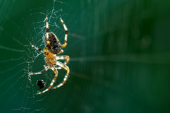 Spinne auf Web Stockfotos