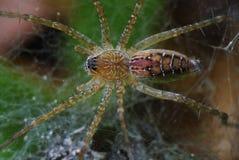 Spinne auf Web Lizenzfreies Stockbild