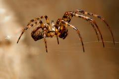 Spinne auf Web lizenzfreie stockfotos