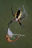 Spinne auf Web mit Libelle Stockbild