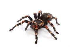 Spinne auf weißem Hintergrund Stockbild