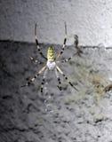Spinne aufgenommen im Netz Lizenzfreie Stockfotografie