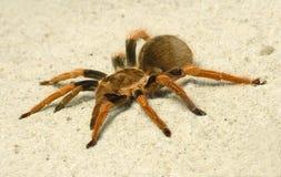 Spinne (Brachypelma boehmei) Stockbild