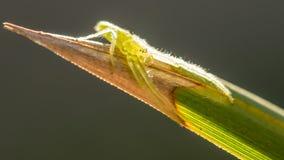 Spinne der grünen Befestigungsklammer Stockfotografie