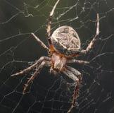 Spinne in der Natur Makro Stockbild