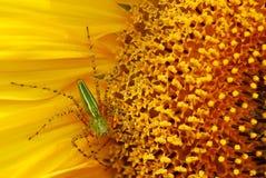 Spinne in der Sonnenblume Stockfotografie