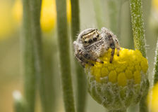 Spinne, die auf Blume sitzt Lizenzfreie Stockbilder