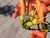Spinne, die auf eine bunte Blume kriecht Stockfoto
