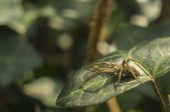 Spinne, die auf einem Blatt sitzt Lizenzfreie Stockbilder