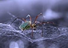 Spinne, die auf ihr Opfer aufpasst Stockbilder
