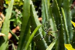Spinne, die auf irgendein Opfer wartet Lizenzfreie Stockbilder
