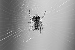 Spinne, die auf Netz isst stockfotos