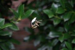 Spinne, die Babyfrosch isst Lizenzfreies Stockbild