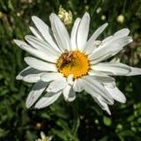 Spinne, die Biene auf Gänseblümchen in Utah Amerika USA isst lizenzfreie stockfotos