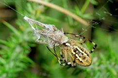 Spinne, die an der Heuschrecke preying ist. Argiope bruennichi Lizenzfreie Stockfotografie